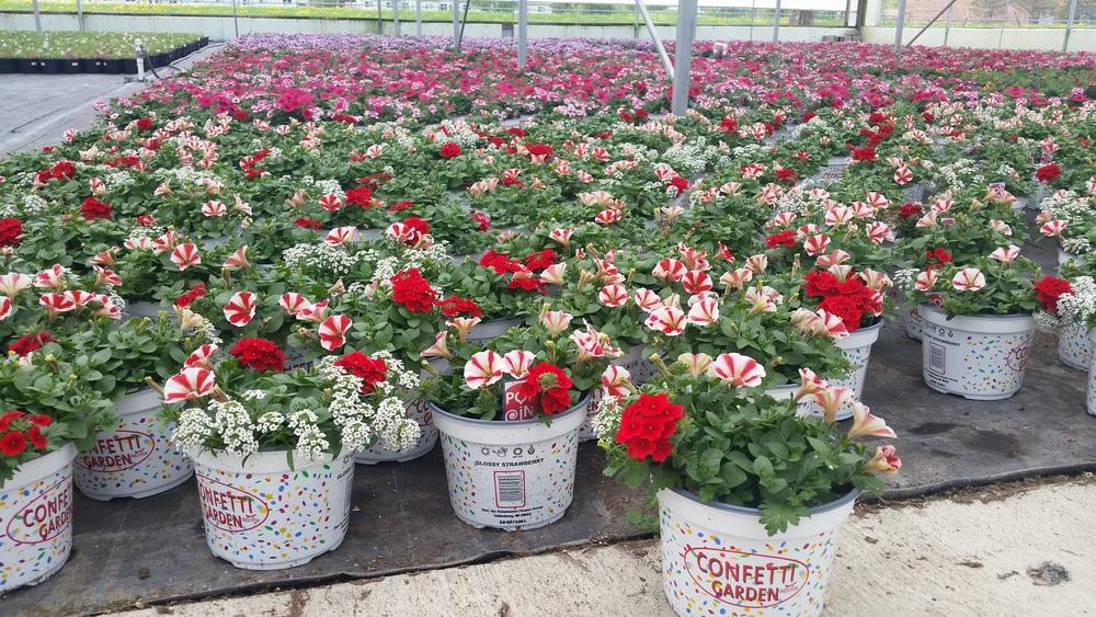 05-08-2015 P8 Confetti Garden - Growing Place - Glossy Strawberry.jpg