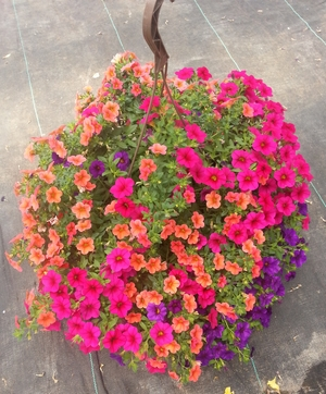 Hanging baskets kalamazoo flower group beautiful hanging baskets for spring summer and fall in a variety of container sizes featuring the branded programs of proven winners wave petunia mightylinksfo