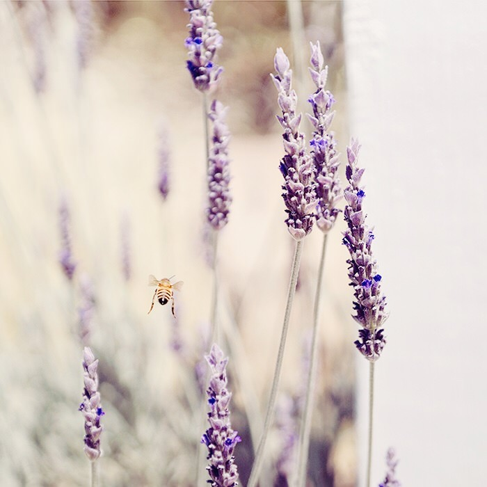 Honey+Bee+Lavender.jpeg
