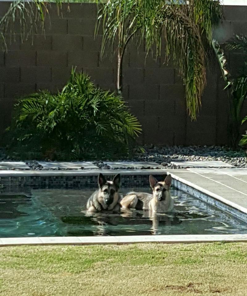 german-shepherds-in-swimming-pool