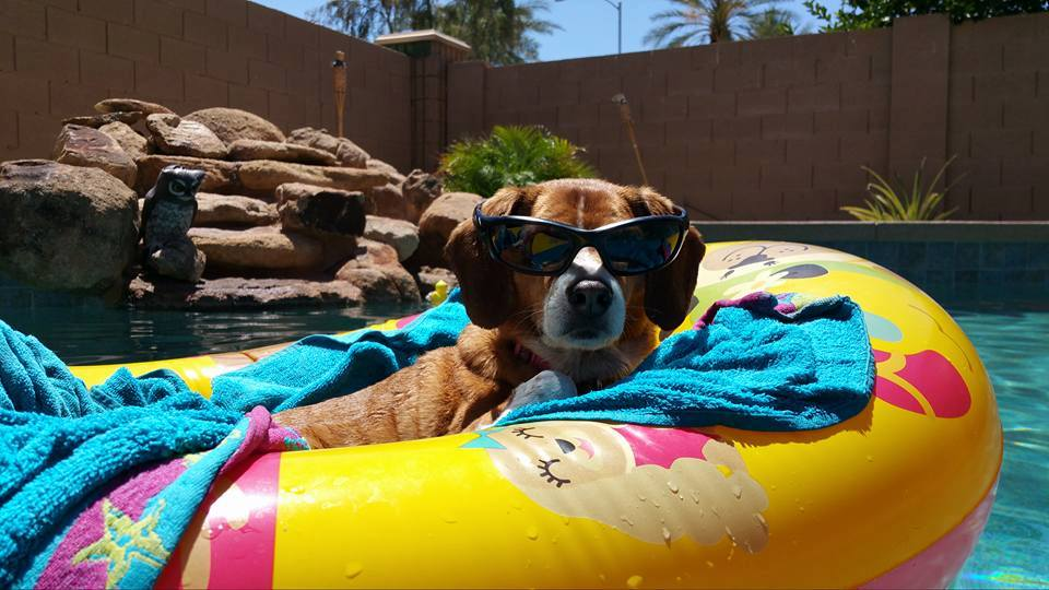 Dog with Sunglasses Floating in Pool