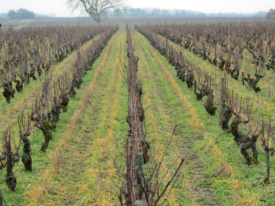 Brunet vines.jpg