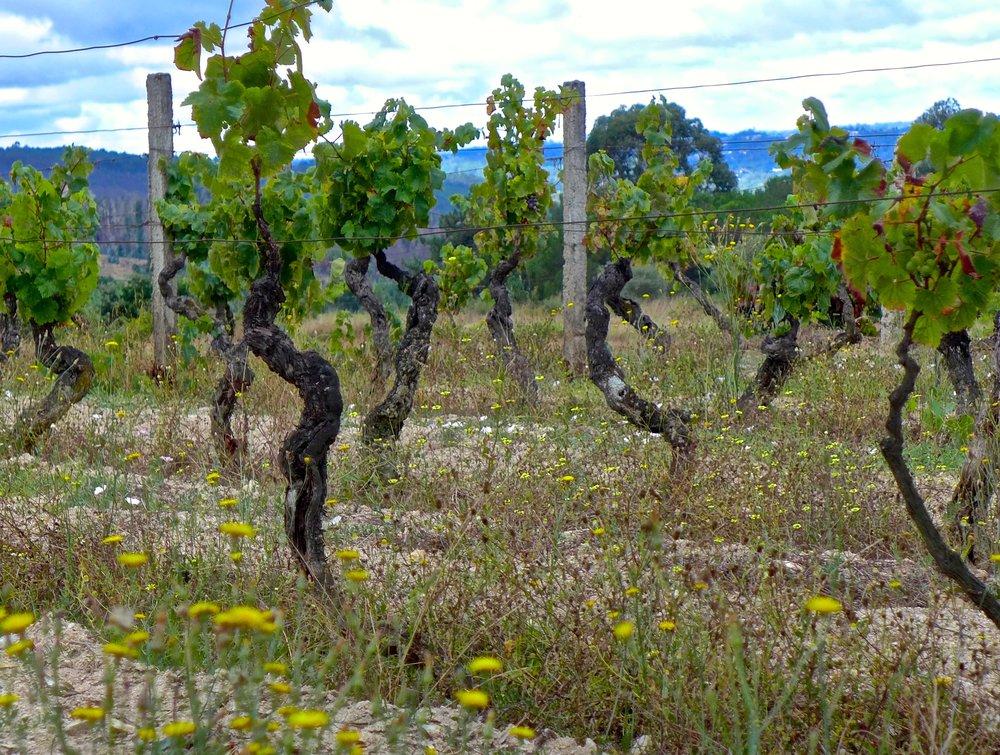The Dance of the Vines.jpg