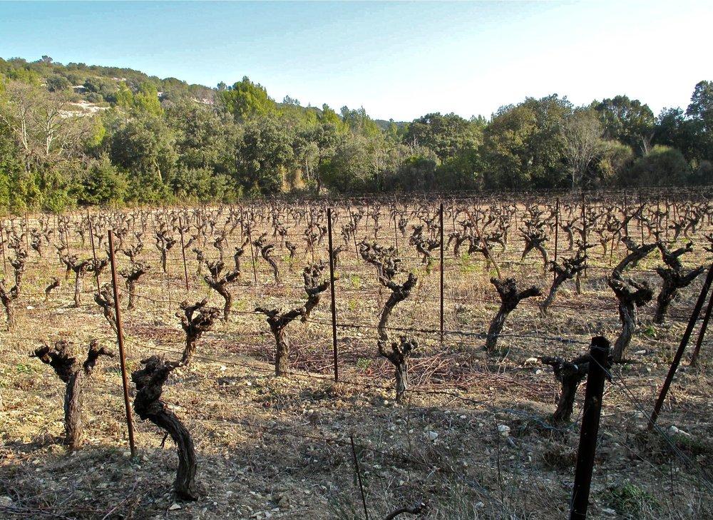 Agalis Carignan vines.jpg