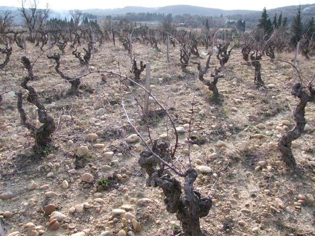 C. Bonfils Old Grenache vines.jpg