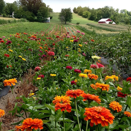 Zinnia Field in Columbia County