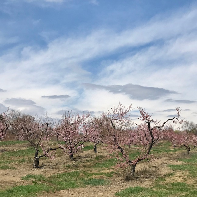 Not to be out done , this peach trees on County Route 10 give them a run for their money!