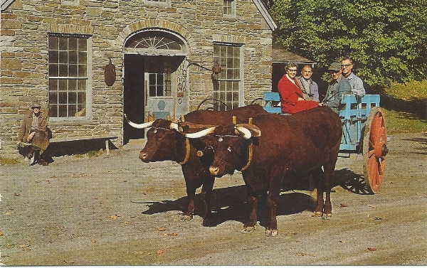 The Pair of Oxen pulling Farmers Museum patrons circa 1970