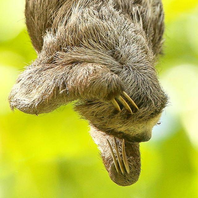 Preguiça; florestas de várzea da foz do Tapajós, Santarém, Pará |  Three-toad Sloth, varzea forest of the Lower Tapajós, Santarem, Para, Brazil