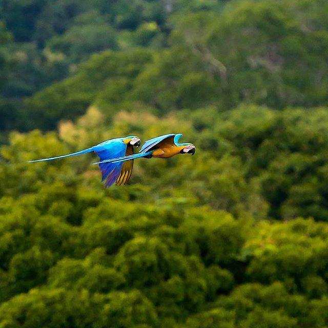 Arara-canindé (Ara ararauna) Blue-and-yellow Macaw