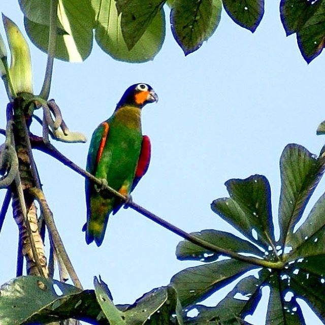 Curica-de-bochecha-laranja (Pyrilia barrabandi) Orange-cheeked Parrot: Um chamado estridente desconhecido, e 5 pequenos vultos verdes voando de encontro à Embaúba... a aproximação cuidadosa revelou um dos mais belos psitacideos que já tive o privilégio de observar e fotografar, em fevereiro de 2007, há exatos 10 anos, nas minhas primeiras aventuras ornitologicas pela Amazônia.