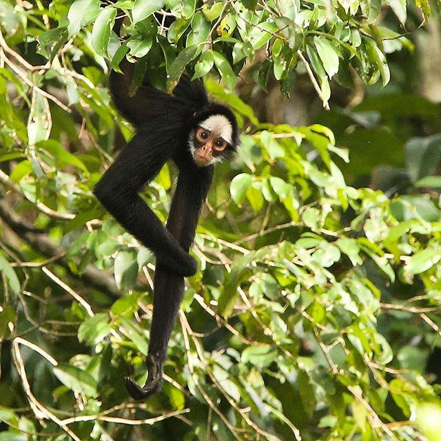 Macaco-aranha-de-cara-branca (Ateles marginatus), demonstrando a versatilidade de sua cauda que utiliza como um quinto membro para se segurar e locomover pelas árvores da Bacia Amazônica. | White-whiskered Spider Monkey, demonstrating the uses of his long prehensile tail.