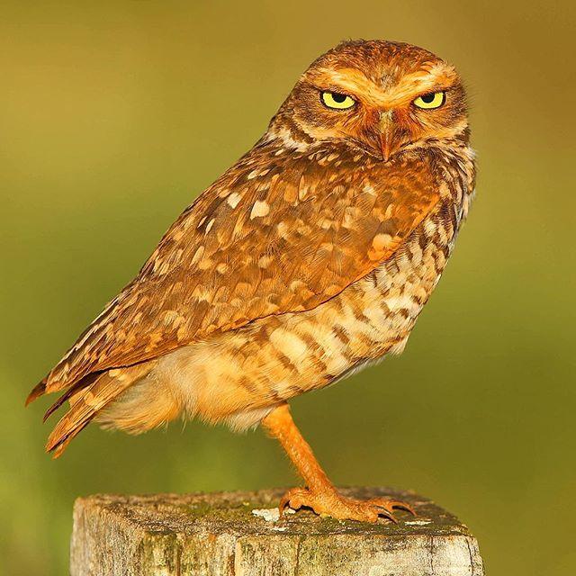 Coruja-buraqueira (Athene cunicularia), comum nos campos e cerrados de todo o Brasil, onde costuma ser encontrada mesmo à luz do dia | Burrowing Owl, one of the commonest owls of Brazilian fields and Savannas, oftenly encountered at daylight