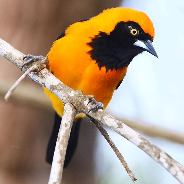 João-pinto (Icterus croconotus), belíssimo habitante da planície pantaneira | Orange-backed Troupial, pretty bird from the Brazilian Pantanal