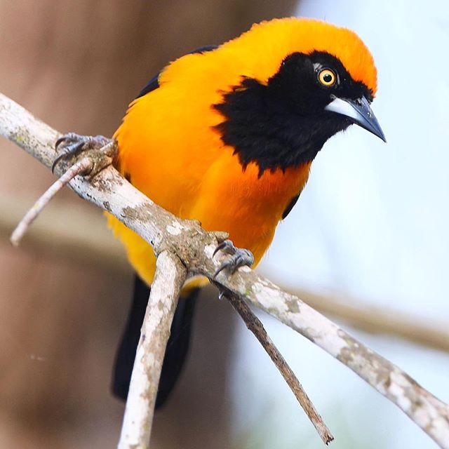 João-pinto (Icterus croconotus), belíssimo habitante da planície pantaneira | Orange-backed Troupial, pretty bird from the Brazilian Pantanal