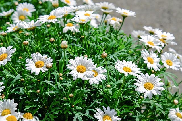 daisies-1373075_640.jpg