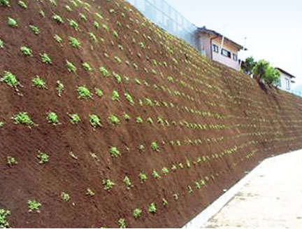 Kurapia Ground Cover Plugs