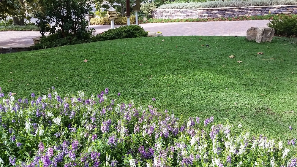 Kurapia Ground Cover Lawn