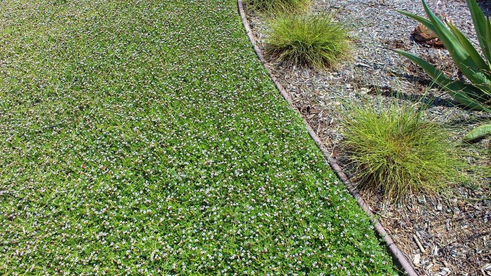 Kurapia Ground Cover