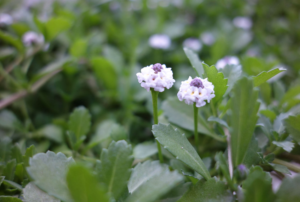 Kurapia Ground Cover Flower