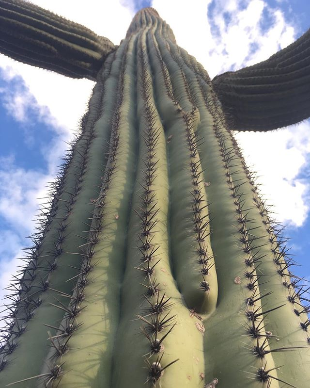 Taking a day off from the gem shows to rest and recuperate.  #tucsongemshow #saguaro #reachforthesky #sonorandesert #tucsonarizona