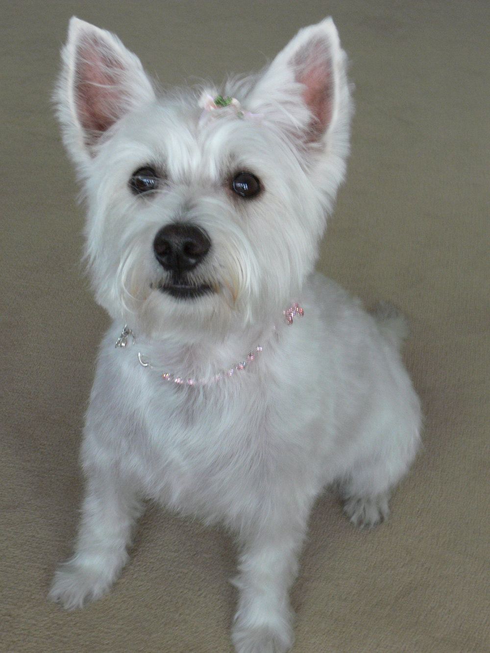 Roxy is Helena's 10 year old Westie.