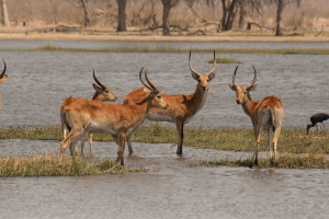 800px-Red_Lechwe_in_the_Okavango