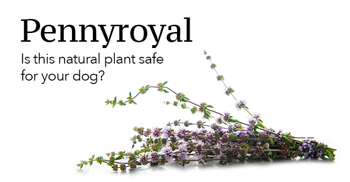 Pennyroyal dog advice