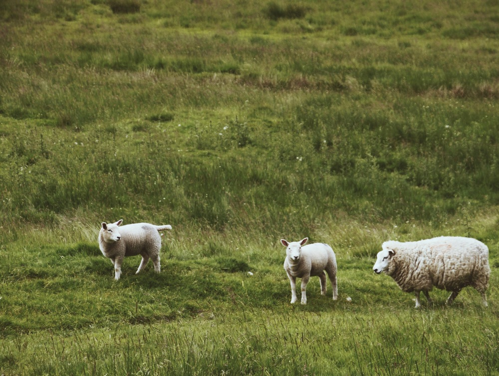 In Scotland, Mary has far too many little lambs. And they poop everywhere. But they're still cute.