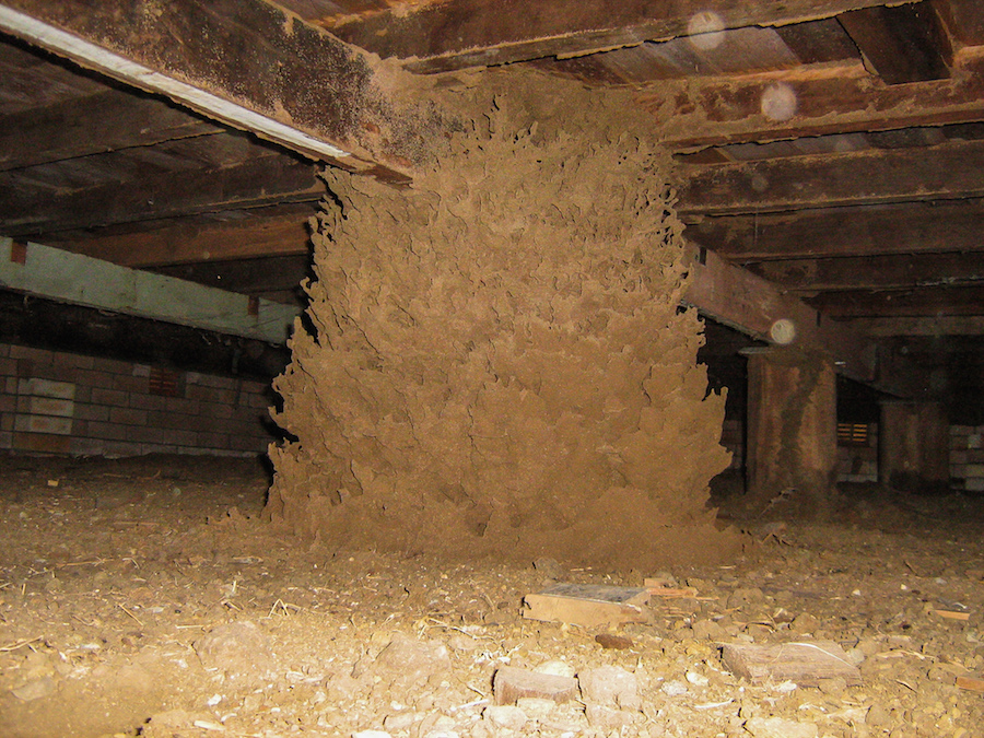 Termite nest in the sub-floor