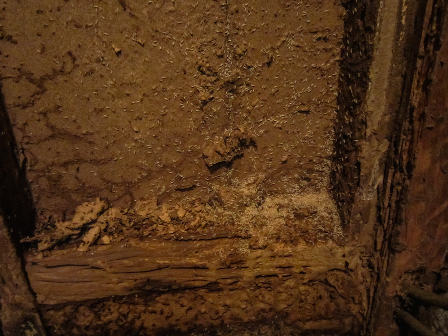 Active termites behind a wall