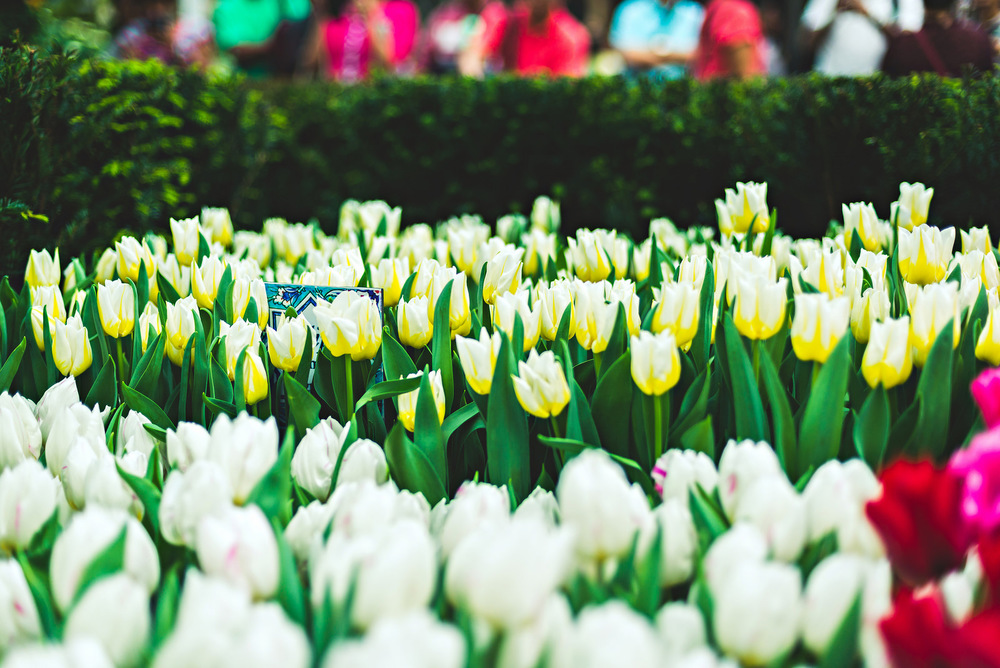 Singapore Tulipmania 2016 Gardens by the Bay Flower Dome Travel Photography