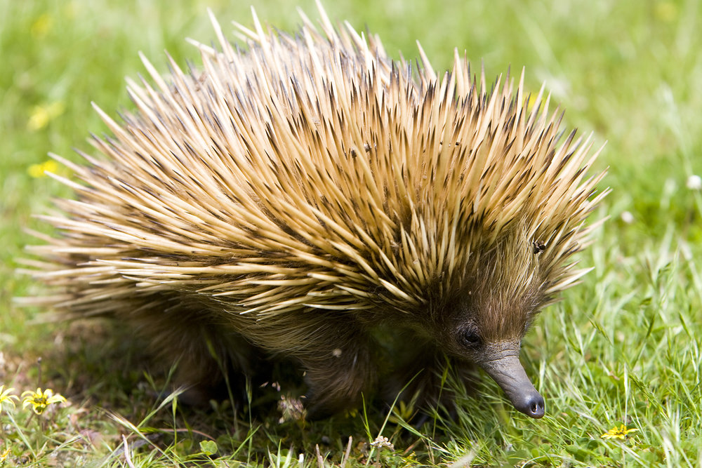 Huge sex-crazed echidna the size of frogs are set to invade Budleigh Salterton