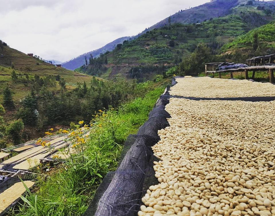 green-coffee-beans-drying.jpg