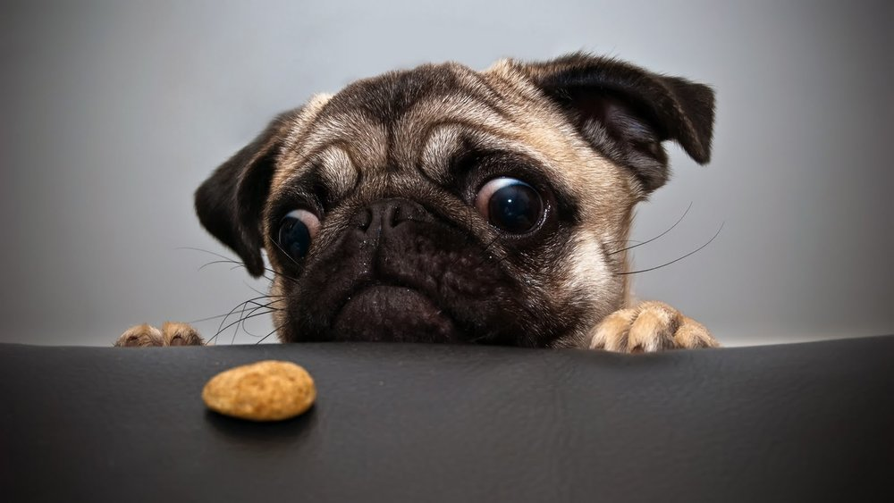 CUTE DOG LOOKING AT COOKIE ALERT