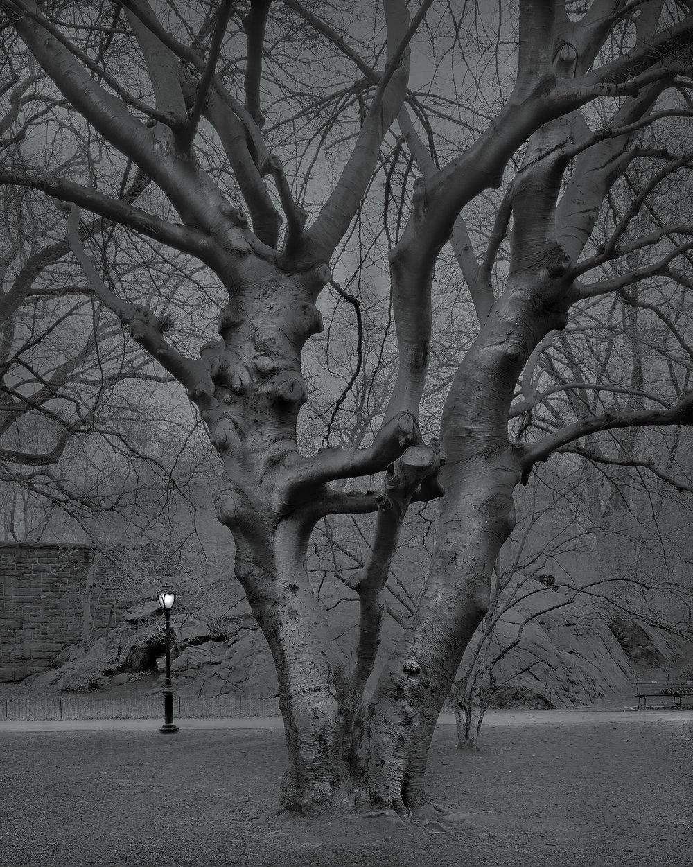 5am European Beech Tree-2017