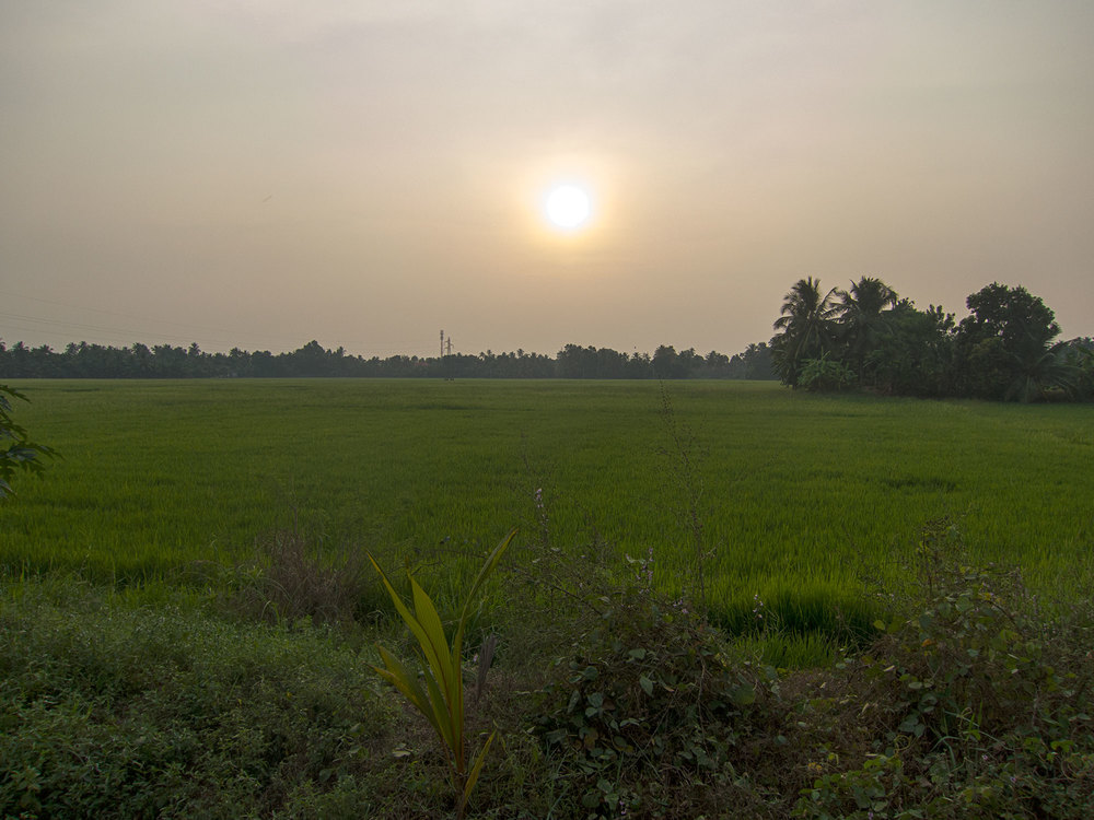 Sunset over the rice paddy in the Kerala backwater.