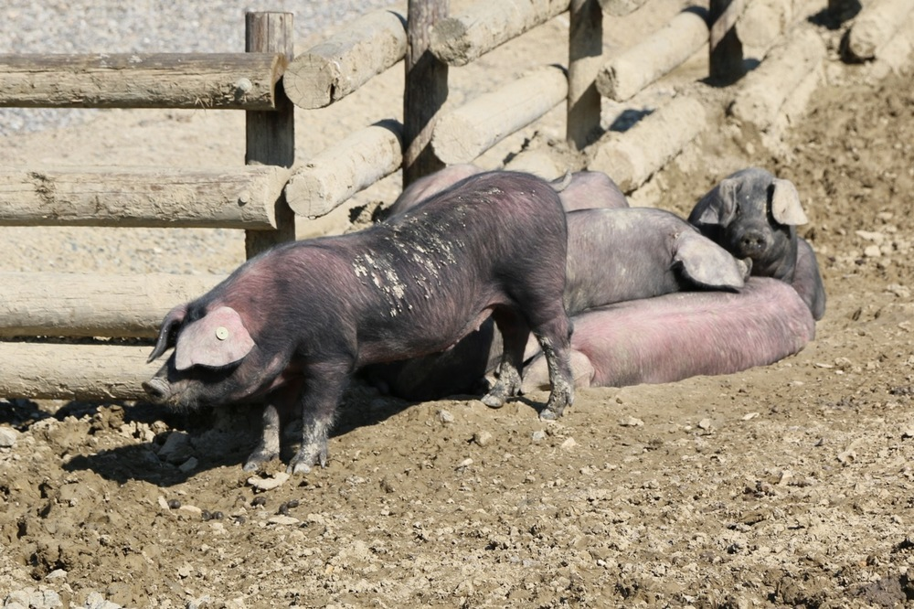 sunbathing black pigs