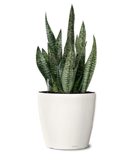 snake-plant.jpg
