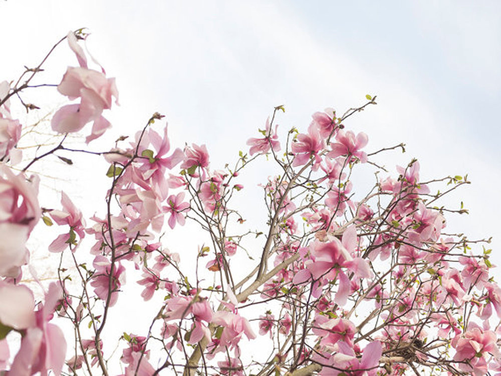 Spring Magnolia Tree #1