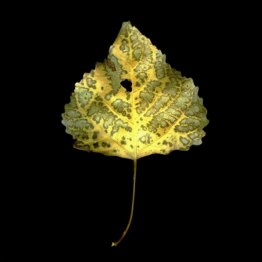 Photosynthesis Leaf #1, 4/15, 2010