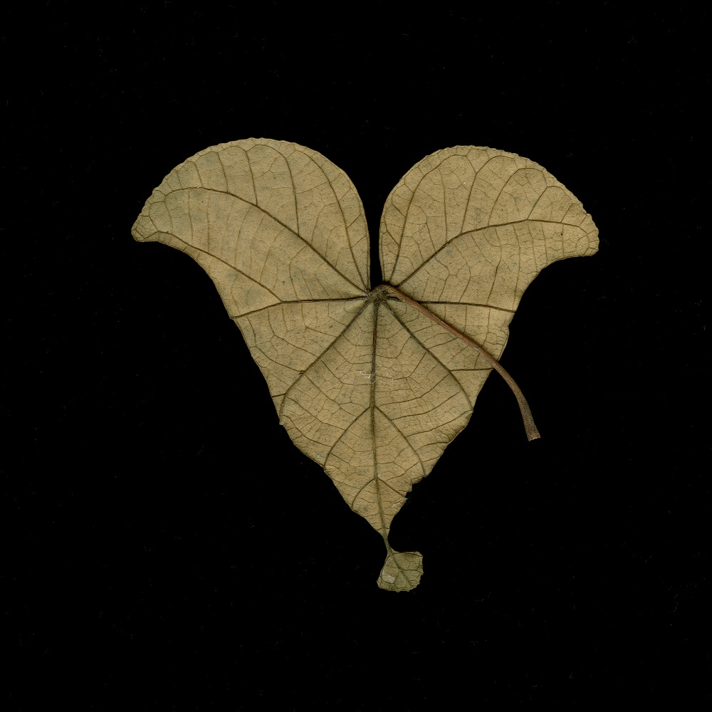 Equilateral Leaf, Singapore, 3/15, 2010