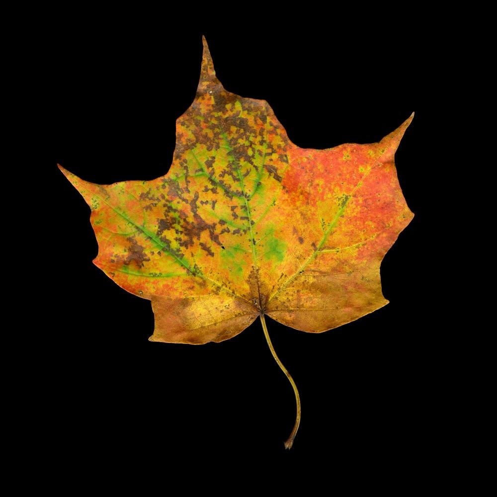 Fall Palette Maple, Vermont, 3/15, 2011