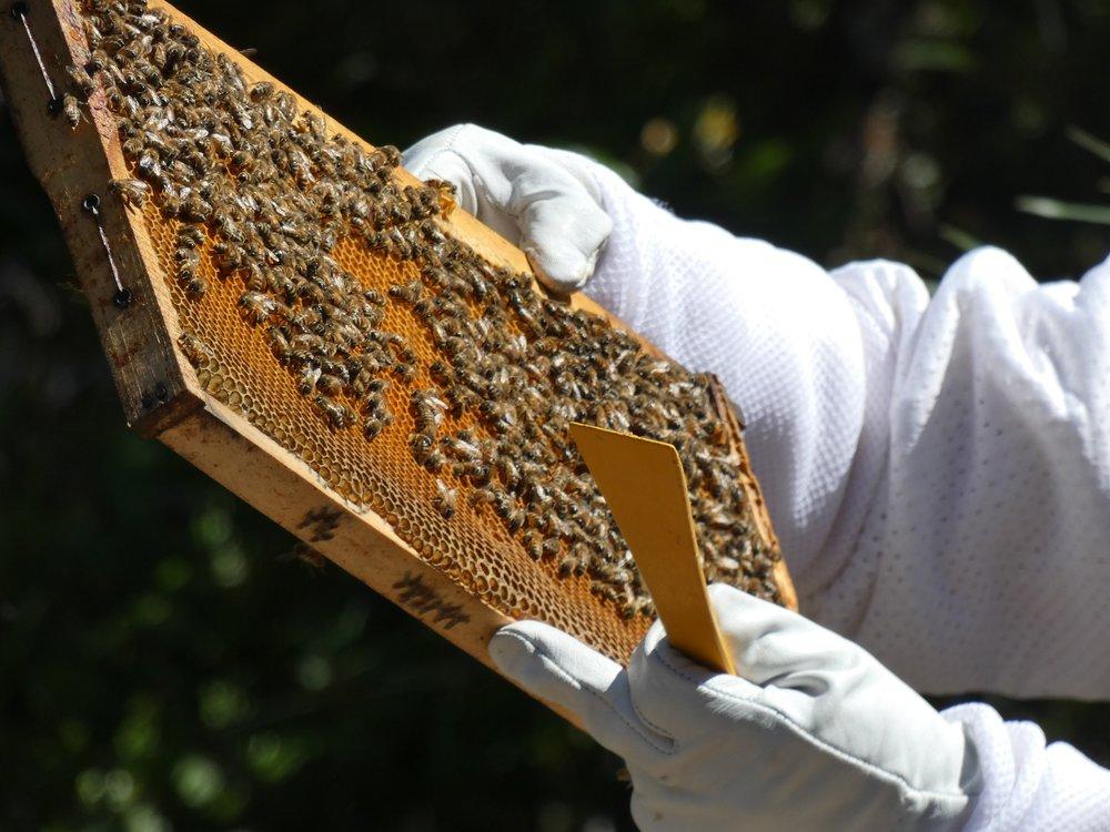 honey bees austin texas