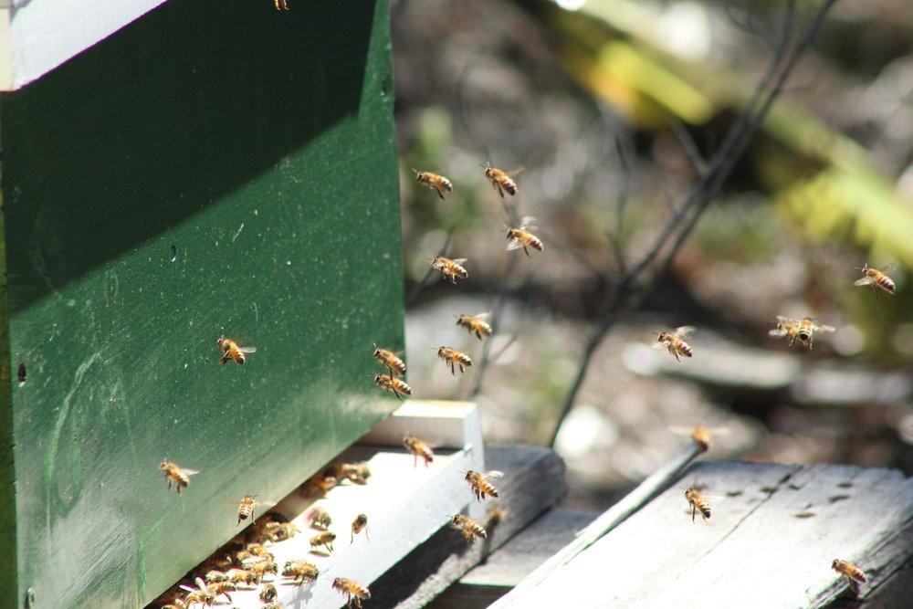 honey bees austin honey company