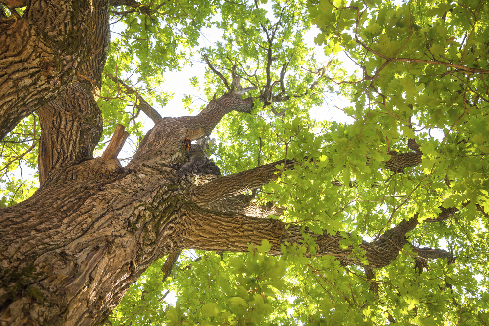 Vision Oak