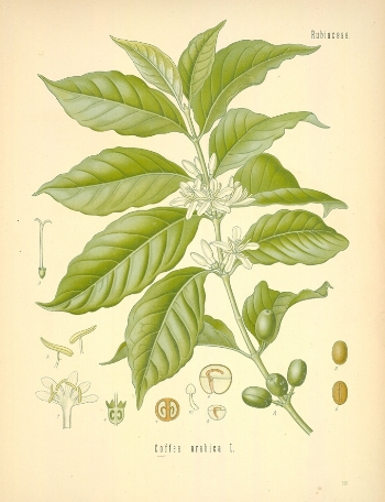Diagram_of_Coffea_arabica-original.jpg