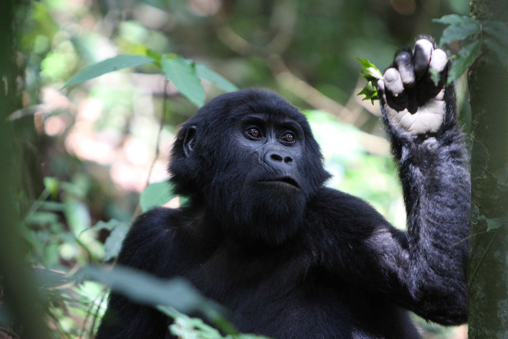 Uganda Rwanda Gorilla Trekking - East Africa Safari Specialists