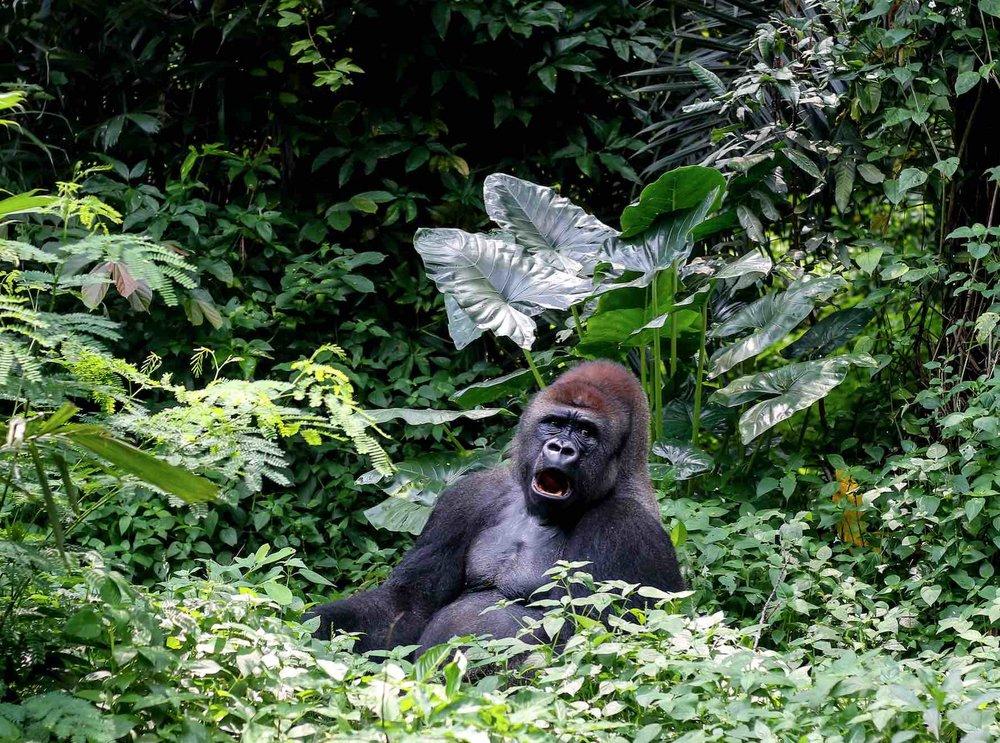 Gorilla Trek Safari African Travel Company.jpg