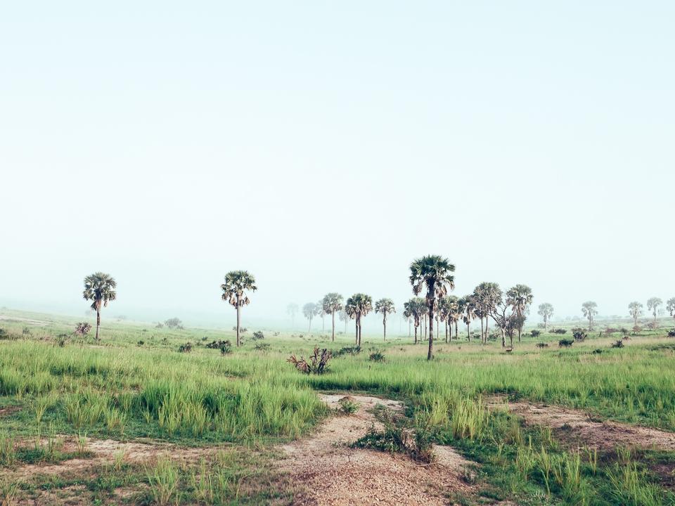 UGANDA Palm Trees Murchinson.jpg
